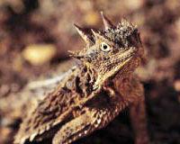 Management of Texas Horned Lizards